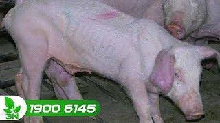 Chăn nuôi | Bệnh tai xanh ở lợn: Căn bệnh cực kỳ nguy hiểm