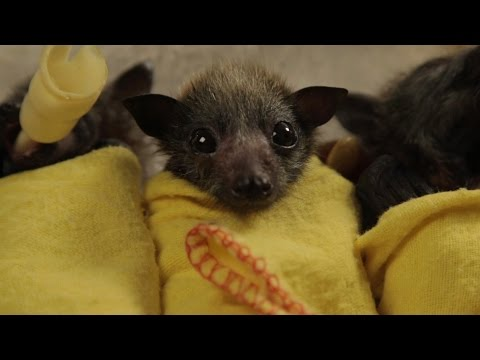 Baby Bat Burritos