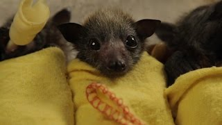 These Baby Bats Will Totally Steal Your Heart