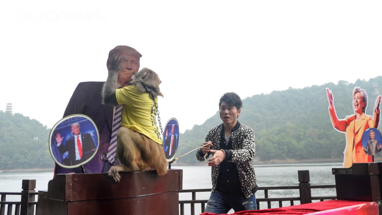 Μαϊμού προβλέπει νίκη Τραμπ στις εκλογές