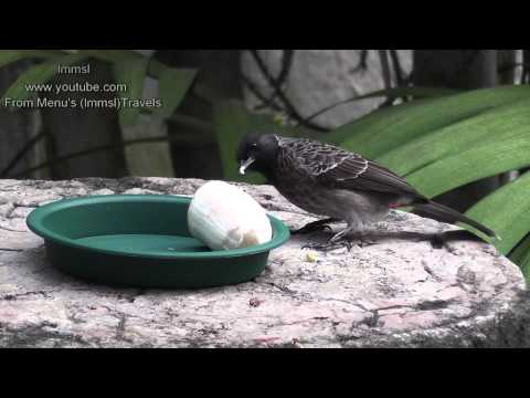 Video Nature &Trees - Red Vented Bulbul & Common Tailorbird download in MP3, 3GP, MP4, WEBM, AVI, FLV January 2017