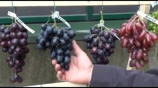 Выставка винограда 2015 года