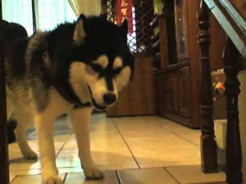 哈士奇熱烈迎接主人回家!喜歡狗狗的人看到這一幕多半心融化的一塌糊塗