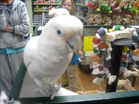 Mango and Sammy - Goffin's Cockatoos