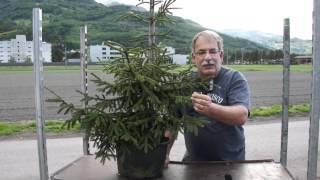 #654 Orientalische Goldfichte - Picea orientalis aurea