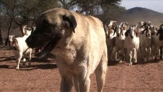Bred by cheetah conservationists to stop farmers from killing the big cats, Anatolian shepherd dogs are transforming farming...