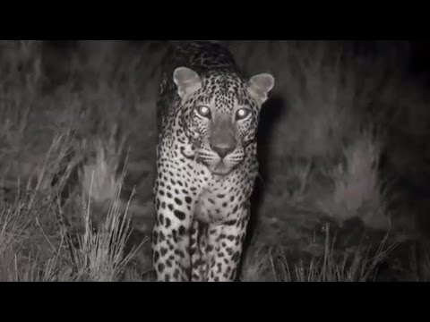 Leopard Kill Captured with Infrared Night Vision   Lands of the Monsoon   BBC