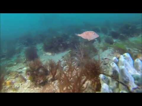 Scallop Drift - Melbourne Diving