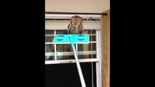 Watch This Man Humanely Get an Owl Out of His House Using a Swiffer