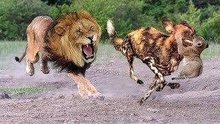 Video Mother Lion destroy 10 Wild Dogs Save Lion Cubs - Epic battle! Wild Dogs vs Lion MP3, 3GP, MP4, WEBM, AVI, FLV November 2018