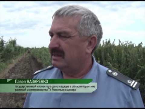 Выкорчёвка деревьев зараженных шаркай в Ростовской области.