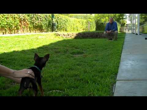 Chihuahua Races Training Tips – Petco Training
