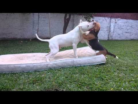 beagle e pitbull giocherelloni