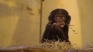Nonton Apenheul  Bonobo Baby S 2015 Film Subtitle Indonesia Streaming Movie Download