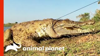 Herpetologists Are Working To Save The Critically Endangered Orinoco Crocodile | Raw Nature by Animal Planet