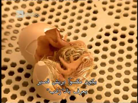 فيديو يوضح طريقة تجنيس الفراخ