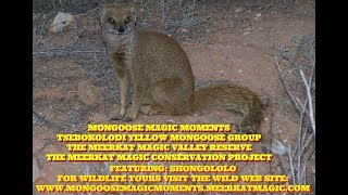 Experience their MONGOOSE MAGIC MOMENTS with The TSEBOKOLODI Yellow Mongoose group