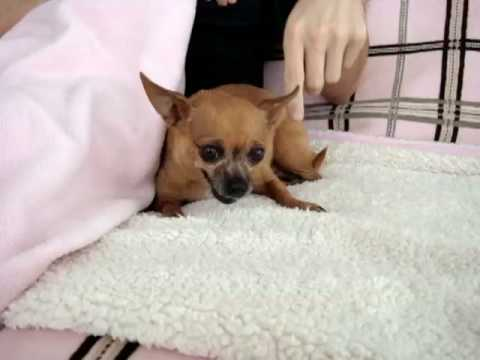 hilarious famous teacup chihuahua attacks! leave my food alone!