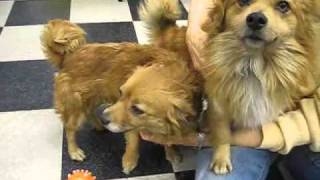 Yummy and Fancy - Pomeranian (medium coat) Dog For Adoption