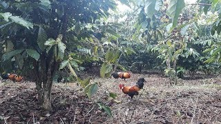 Video MANTAP!!! Rejeki Nomplok Kembali Berhasil Pikat Ayam Hutan Merah Yang Sangat Cantik MP3, 3GP, MP4, WEBM, AVI, FLV November 2018