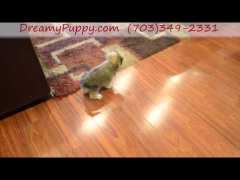 Adorable Shorkie Male puppy
