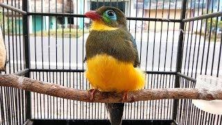 Download Video Burung pancawarna bahan hasil dari memikat cantik banget burungnya MP3 3GP MP4