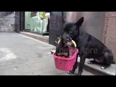 cina-black-tiger-dolce-cagnolone-aiuta-il-suo-piccolo-amico-ad-andare-in-giro