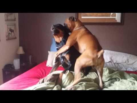 il boxer e il rottweiler giocano assieme su un letto