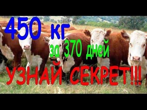 видео домашних бычков