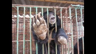 Explained the roadmap to saving 1,000 bears in Vietnam