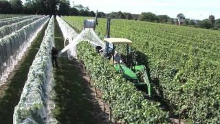 Newport Vineyards Grape Harvest