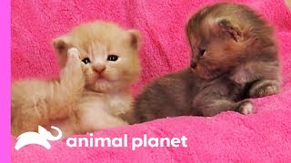Curious Calico Kittens Explore Their Dog Grooming Salon | Too Cute! by Animal Planet