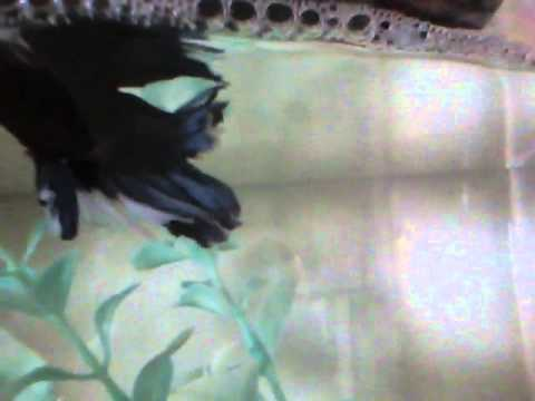 Betta Fish Breeding
