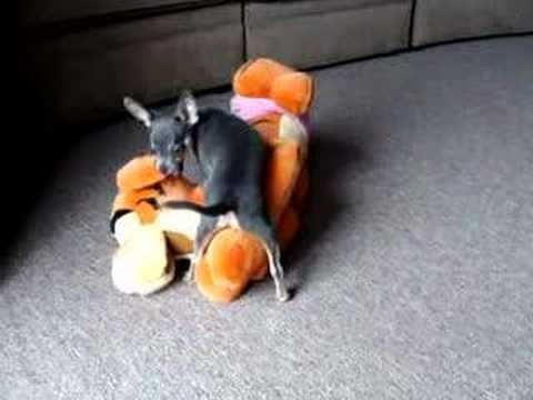 Chihuahua Humps Tigger's Face