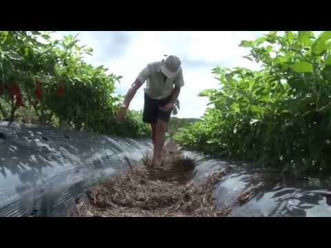 Agroindústria como alternativa a produção de pimentas em Turuçu/RS