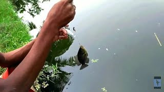 Talapia fish catching in village pond