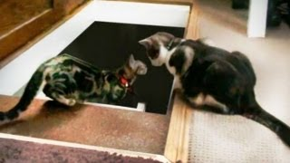 Cat Pushes another Cat Down the Stairs *ORIGINAL