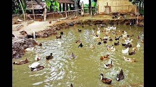 Duck Farming (documentary)| Modern Farming Methods in the Philippines