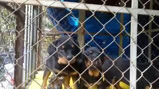 Xuất chuồng bầy chó rottweiler (2-1-2020)