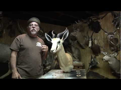 Testa's Taxidermy Tip's – Mount Cleaning
