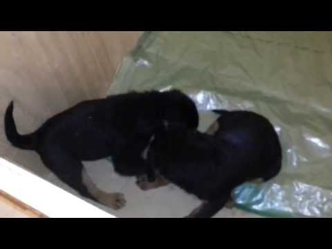rottweiler fighting