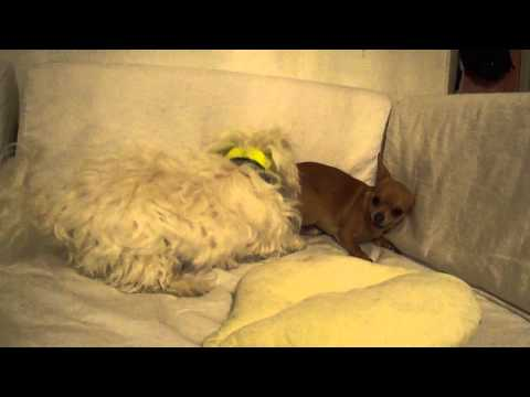 Bichon maltais vs Chihuahua