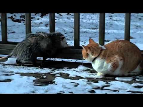 Opossum and Cat fight