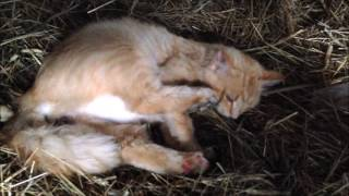 Cat Giving Birth To Kittens Active Labor LIFE ON THE FARM LIVE Birth Video How to Give Birth