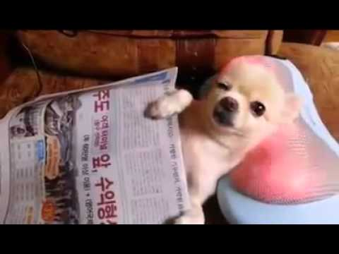 Chill Chihuahua Puppy Enjoys a Neck Massage