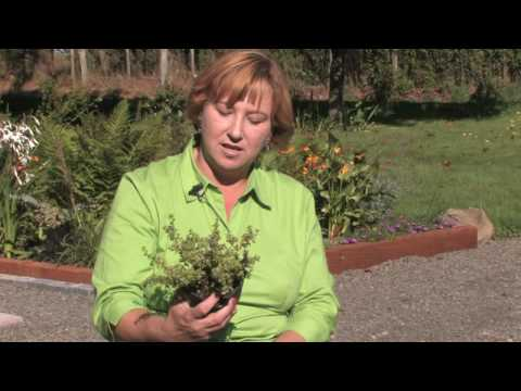 how to grow thyme in singapore
