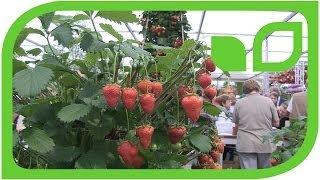 Die perfekten Erdbeeren (Chelsea 2014)