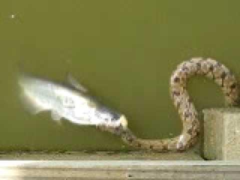 水蛇單殺大鯰魚 最終結果卻讓人哭笑不得