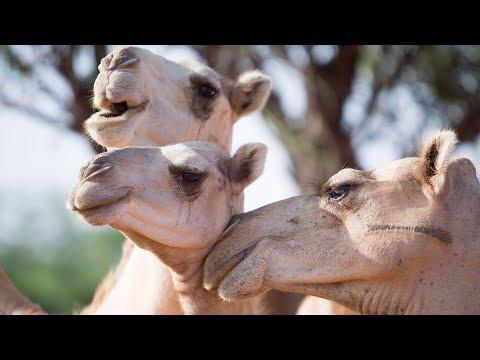 Drought Creates Market for Camel Milk in Eastern Africa | Earth Focus | Season 2 | Episode 4