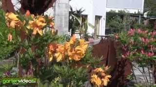 Eine Pflanzung mit Knap-Hill Azaleen